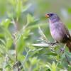 Embernagra platensis<br /> Sabiá-do-banhado<br /> Great Pampa-Finch<br /> Verdón - Havía kapi'i