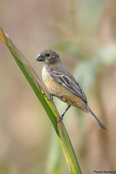 Sporophila collaris<br /> Coleiro-do-brejo fêmea<br /> Rusty-collared Seedeater female<br /> Corbatita dominó - Guyra juru tu'î
