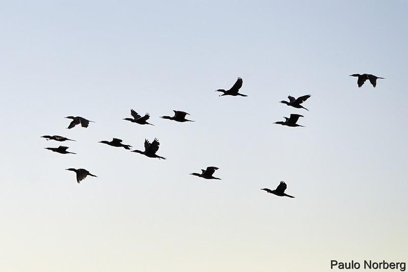 Phalacrocorax brasilianus<br /> Biguá<br /> Neotropic Cormorant<br /> Cormoran - Mbigua