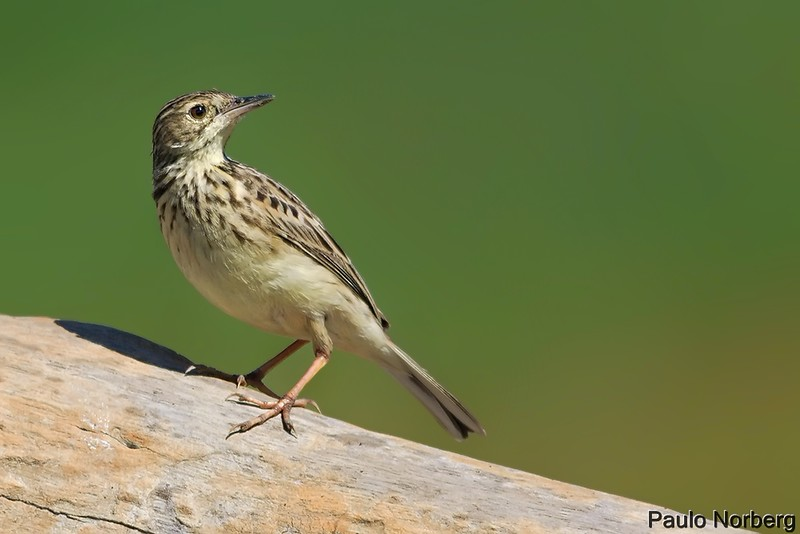 Anthus lutescens<br /> Caminheiro-zumbidor<br /> Yellowish Pipit<br /> Cachirla chica - Chi'i
