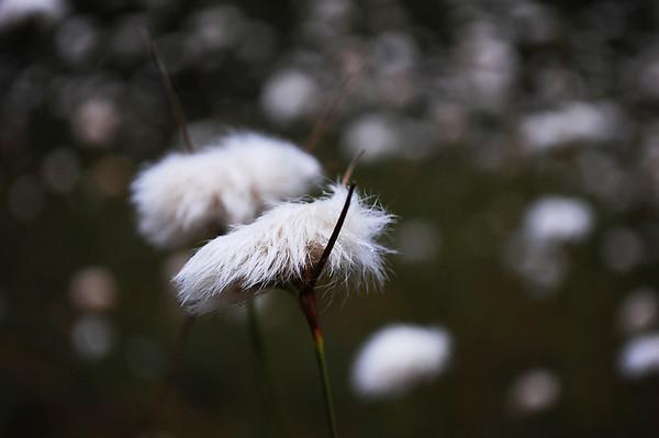 Cottongrass Under Cloud And Sun, Canaan Valley (Summer-Fall 2010)