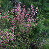 Red-Flowering Currant (Ribes sanguineum) was attracting hummingbirds.