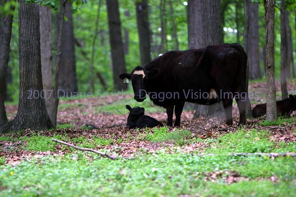 Cows Random