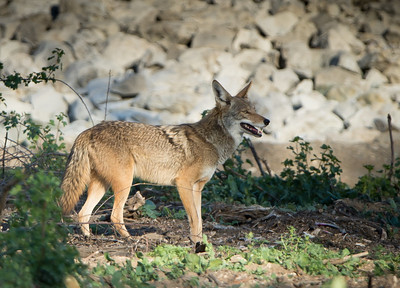 Coyote, Sepulveda Basin's South Reserve, 90+- degrees, 13-Mar-2013. Breeding season for California Coyotes (Canis latrans, aka the American jackal) is January to early March. Females should be protecting their dens about now, pari passu (in equal step) with the Great Horned Owls.