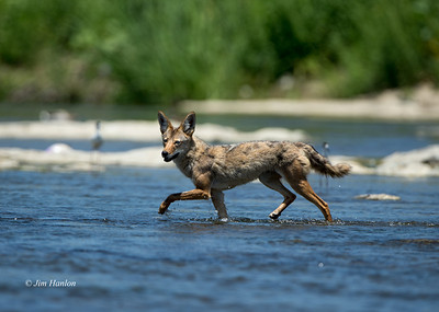 Coyote crossing the L.A. River on Memorial Day, 27-May-2013
