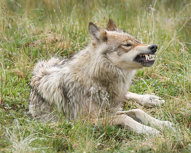 This snarling Wolf photograph was captured along the park road in Denali National Park, Alaska (6/10).     This photograph is protected by the U.S. Copyright Laws and shall not to be downloaded or reproduced by any means without the formal written permission of Ken Conger Photography.