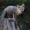 "This photograph of a gray fox kit was captured in Lanexa, Virginia (6/15).     <font color=""RED""><h5>This photograph is protected by the U.S. Copyright Laws and shall not to be downloaded or reproduced by any means without the formal written permission of Ken Conger Photography.<font color=""RED""></font></h5></font>"