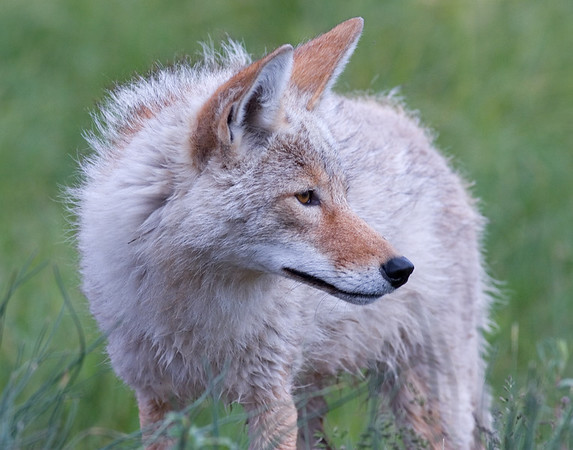 This Coyote photograph was captured in Yellowstone National Park, WY (6/07).   This photograph is protected by the U.S. Copyright Laws and shall not to be downloaded or reproduced by any means without the formal written permission of Ken Conger Photography.