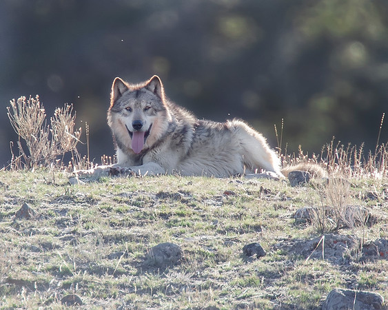 This photograph of two Canyon Pack wolves was captured in the Mammouth area of Yellowstone National Park (4/09).  This photograph is protected by the U.S. Copyright Laws and shall not to be downloaded or reproduced by any means without the formal written permission of Ken Conger Photography.