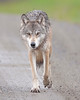 Denali National Park Wolf