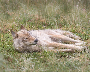 This sleeping Wolf photograph was captured along the park road in Denali National Park, Alaska (6/10).     This photograph is protected by the U.S. Copyright Laws and shall not to be downloaded or reproduced by any means without the formal written permission of Ken Conger Photography.