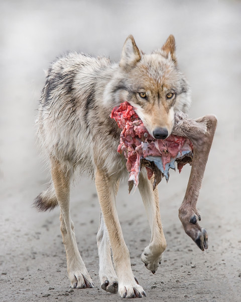 This Wolf carried a caribou calf hindquarter for 12 miles on the park road to the den site for the pups. This wolf photograph was captured on the park road in Denali National Park, Alaska (6/10).     This photograph is protected by the U.S. Copyright Laws and shall not to be downloaded or reproduced by any means without the formal written permission of Ken Conger Photography.