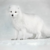 "This photograph of an arctic fox was captured in Iceland (1/16). <font color=""RED""><h5>This photograph is protected by International and U.S. Copyright Laws and shall not to be downloaded or reproduced by any means without the formal written permission of Ken Conger Photography.<font color=""RED""></font></h5></font>"