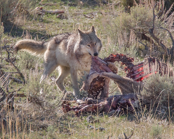 This photograph of a Canyon Pack wolf was captured in the Mammouth area of Yellowstone National Park (4/09).  This photograph is protected by the U.S. Copyright Laws and shall not to be downloaded or reproduced by any means without the formal written permission of Ken Conger Photography.