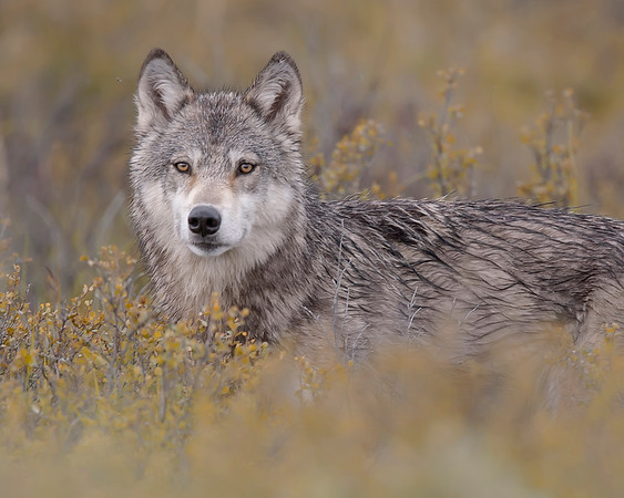 This Wolf photograph was captured along the park road in Denali National Park, Alaska (6/10).     This photograph is protected by the U.S. Copyright Laws and shall not to be downloaded or reproduced by any means without the formal written permission of Ken Conger Photography.