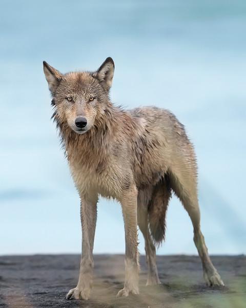 Alaska Peninsula Wolf