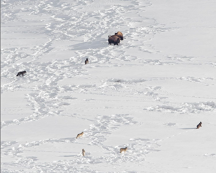 This photograph of a Wolf Pack (Junction Pack) surrounding a Bison in Lamar Valley was captured in Yellowstone National Park, Wyoming (1/15). This photograph is protected by the U.S. Copyright Laws and shall not to be downloaded or reproduced by any means without the formal written permission of Ken Conger Photography.