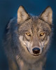 """This photograph of a Wolf  was captured in Denali National Park, Alaska (8/15). <font color=""""RED""""><h5>This photograph is protected by International and U.S. Copyright Laws and shall not to be downloaded or reproduced by any means without the formal written permission of Ken Conger Photography.<font color=""""RED""""></font></h5></font>"""