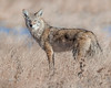 Bosque Del Apache NWR Coyote