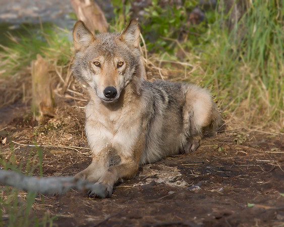 This Wolf photograph was captured in Katmai National Park, Alaska (7/06).     This photograph is protected by the U.S. Copyright Laws and shall not to be downloaded or reproduced by any means without the formal written permission of Ken Conger Photography.