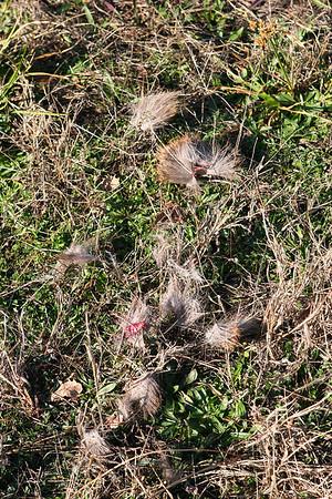 Coyote Kill