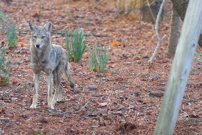 Coyote in our Yard