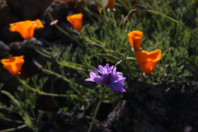 California poppy (Eschscholzia californica), Blue dicks (Dichelostemma capitatum)