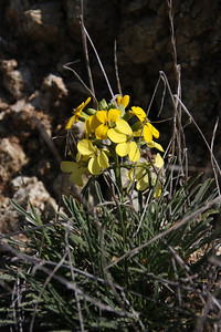 San Francisco Wallflower (Erysimum franciscanum). This flower is native,endemic,rare.
