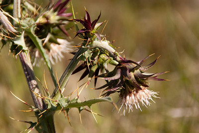 Mount Hamilton thistle, grows only in a few areas around here (I've posted photos of it from Santa Teresa Park) (Cirsium fontinale (E. Greene) Jepson var. campylon). Native, endemic, rare