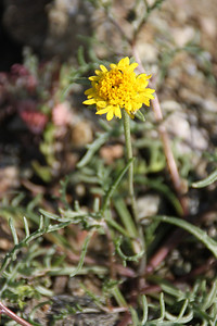 Pincushion (Chaenactis glabriuscula). This flower is native, endemic.