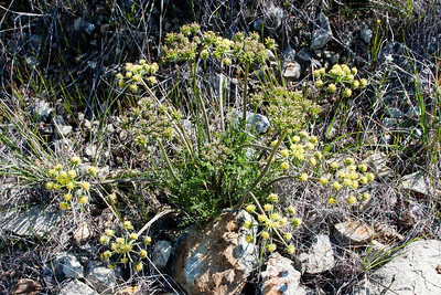Lomatium californicum, a native