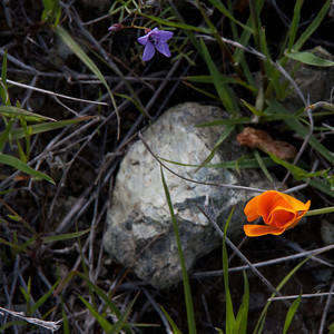 California poppy (Eschscholzia californica),Gilia of some sort, and serpentinite rock