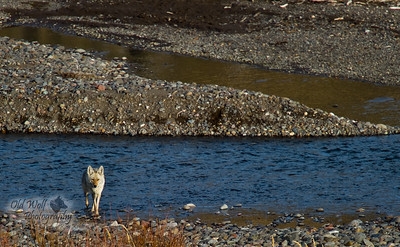 Coyote, Footbridge, Yellowstone