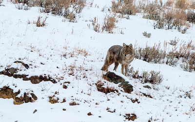 Coyote, Institute, Yellowstone 3
