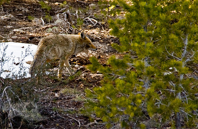 Coyote, Grand Canyon, Arizonia