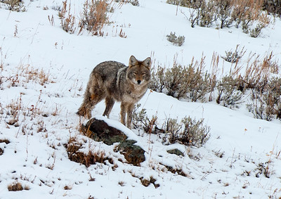 Coyote, Institute, Yellowstone