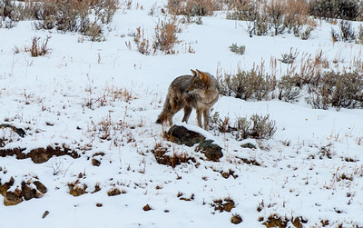 Coyote, Institute, Yellowstone 4