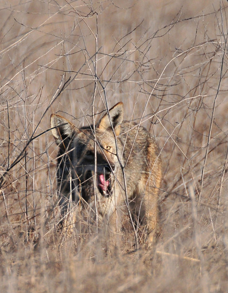 Coyote hunting for rodents