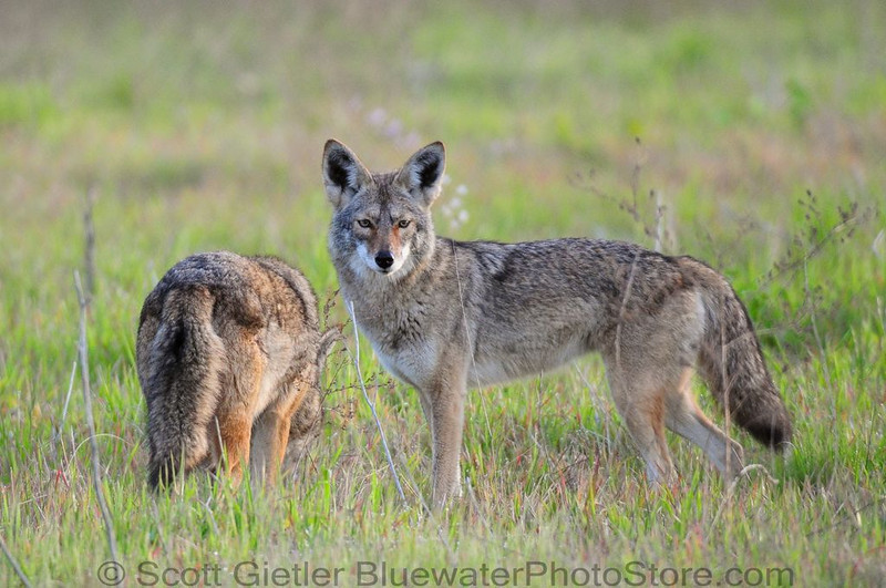 Coyotes out in early morning, searching for tasty rodents.