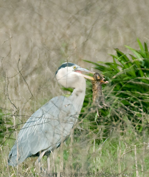 Great blue heron snatches up his prey, either a large vole or a small pocket gopher
