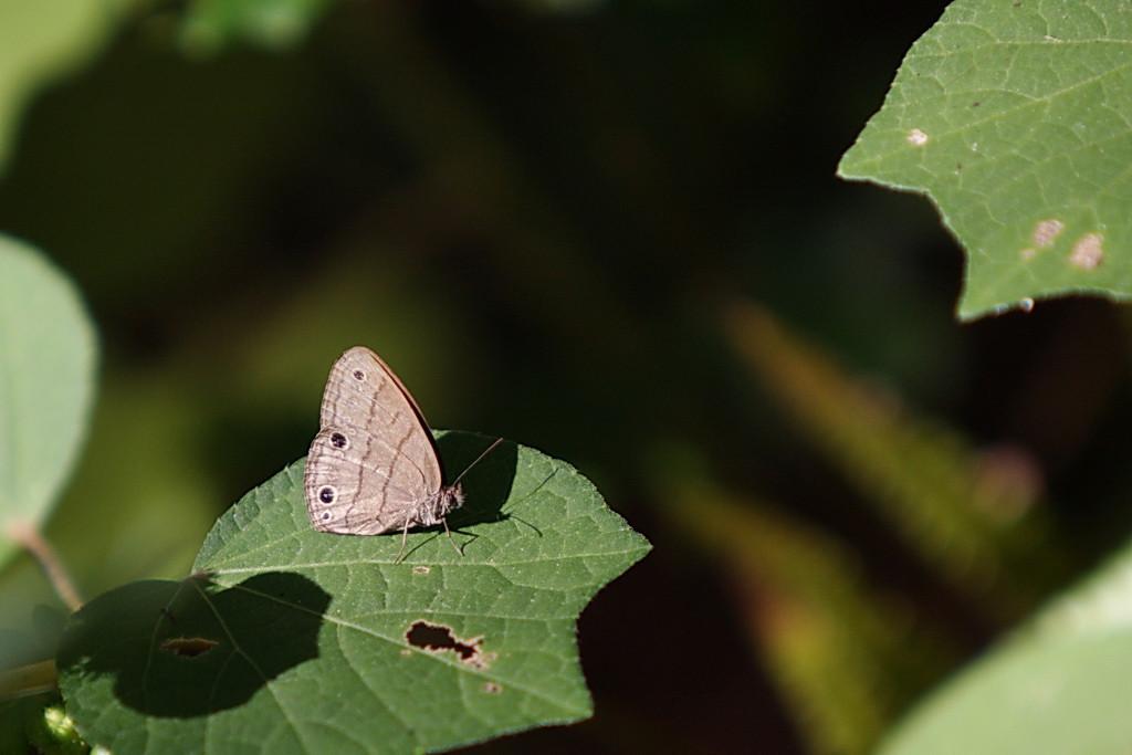 9657 A Carolina Satyr (Hermeuptychia sosybius), a brush-footed butterfly.