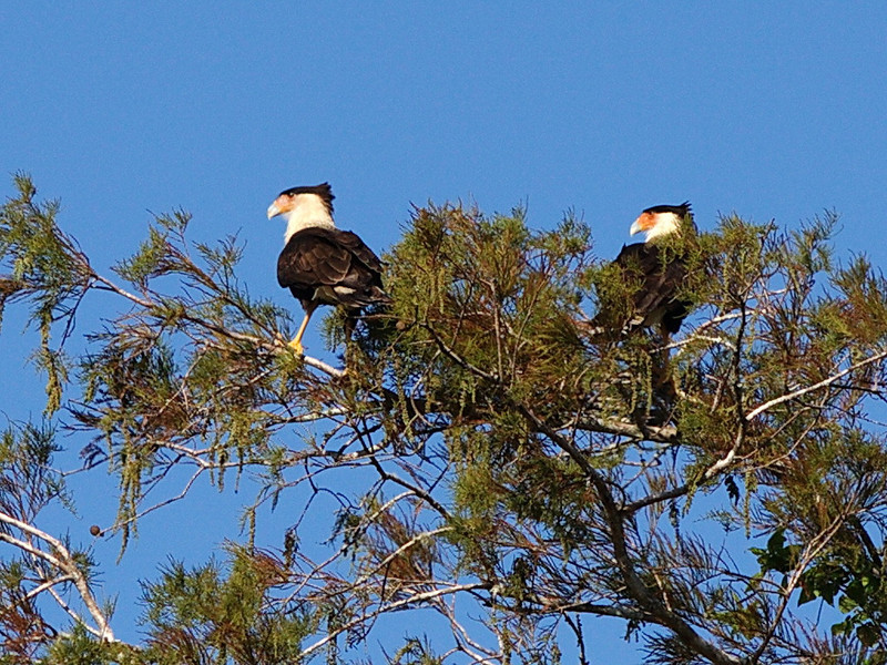 9624 As Dee and I were driving west on US 192 on our way to the trailhead, Dee noticed two great crested caracaras in a tree top, so we turned around to catch them before they flew off.