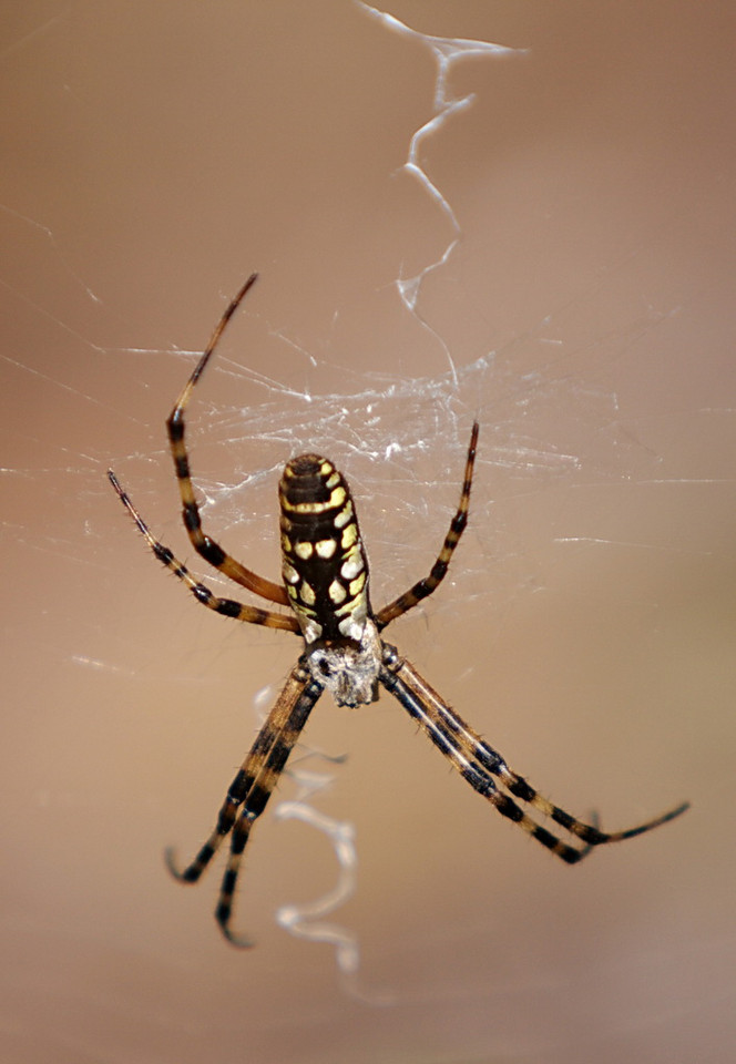 9640 On our hike to the bridges we spotted this black and yellow garden spider. The dark spot that appears to be an eye on the top of its head isn't an eye, but I don't know what it is. It doesn't appear on Google images of the same spider that other people took.