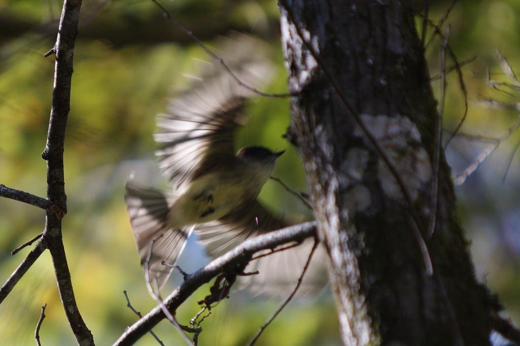 9671 As I stalk the eastern phoebe it flies away.