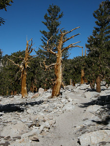 Hiking north on the PCT. This portion of the trail had the feel of a curated exhibit, with Foxtail Pines (or are these Whitebark Pines?) being the featured attraction. Each tree seemed carefully placed, demonstrating an amazing number of shapes, stances, and textures.