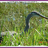 Great Blue Heron - August 17, 2006 - Lower Sackville, NS