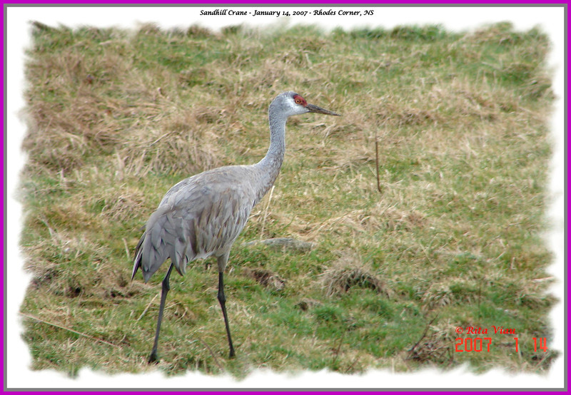 Sandhill Crane - January 14, 2007 - Rhodes Corner, Lunenburg Co., NS
