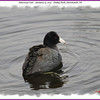 American Coot - January 15, 2012 - Finlay Park, Dartmouth, NS