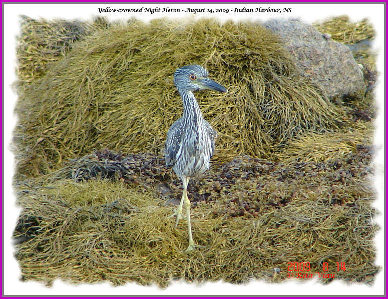 Yellow-crowned Night Heron - August 14, 2009 - Indian Harbour, NS