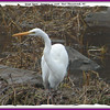 Great Egret - January 14, 2006 - East Chezzetcook, NS